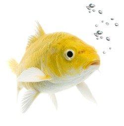 Рыбка - домашнее животное
