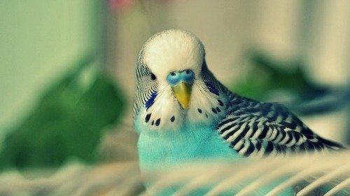 Вопрос-ответ на тему о волнистых попугаях