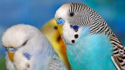 Как определить возраст волнистого попугая?