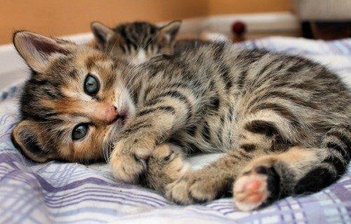 Какую породу кошки выбрать