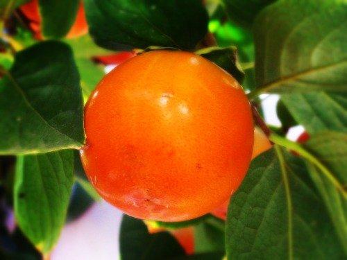 Плод хурмы