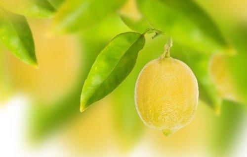 Так растёт лимон