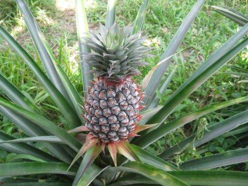 Так растёт ананас