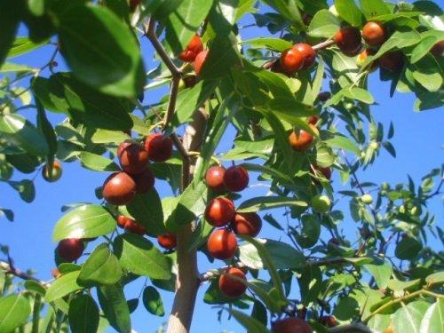 Плоды фиников