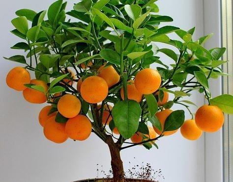 Домашнее мандариновое дерево