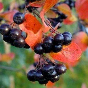 Ветка черноплодной рябины