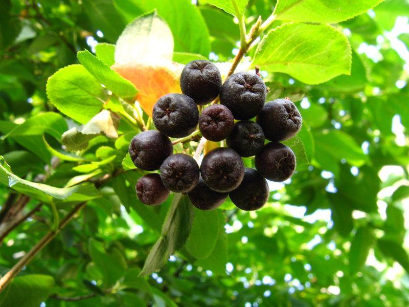 Полезные свойства черноплодной рябины