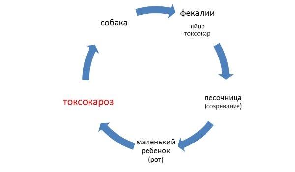 Цепочка развития паразита